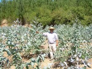 NUEVO plantacionEucalipto A Sanhueza